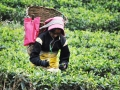 Darjeeling-Tea-picking-(1)