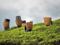 Darjeeling-Tea-picking