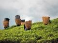 Darjeeling-Tea-picking